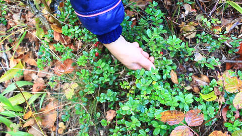 berry-picker gathers red berries of cowberry Footage
