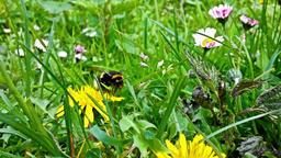 Bumblebee gathering pollen, closeup Footage
