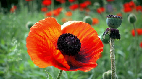 Red poppy flowers Footage