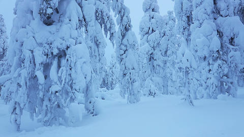 Winter Evening Forest and a lot of Snow Footage