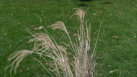 Dry blades of grass and ears of grass against a green lawn Live Action