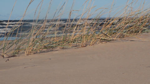 Sea for stalks of sea grass on a windy day Live Action
