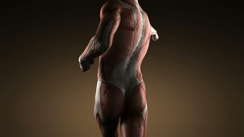 Human Muscle Anatomy Animation