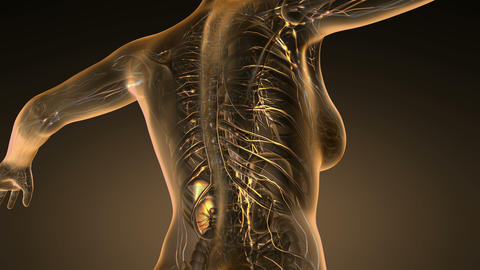 Loop science anatomy scan of woman limphatic system glowing with yellow on orang Animation