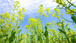 fields of bright yellow flowering rapeseed, rapeseed flowers close-up Live Action