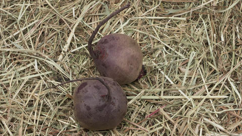 Two organic beets in the hay Live Action
