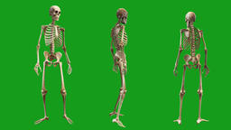 Skeletons motion graphics with green screen background Animation