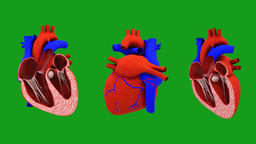 Working human heart motion graphics with green screen background Animation