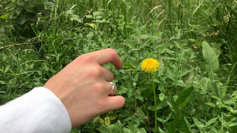 Close-up. 4K. Female hand touches a yellow flower. A woman gently touches a Live Action