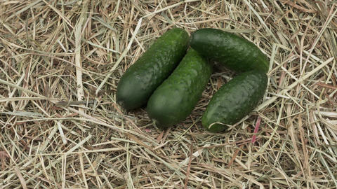 Organic cucumbers lie on the hay Live Action