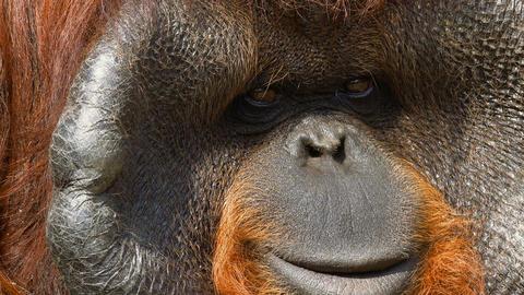 Portrait of an adult male orangutan Live Action