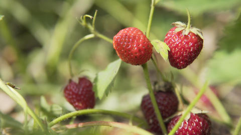 Ripe juicy organic strawberry berries grow on an eco-farm, ready for harvest and Live Action