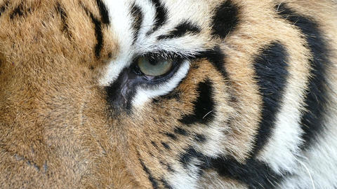 portrait of Bengal Tiger eyes Footage