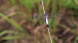 Dragonfly close-up at Showa Memorial Park, Tokyo, Japan Footage