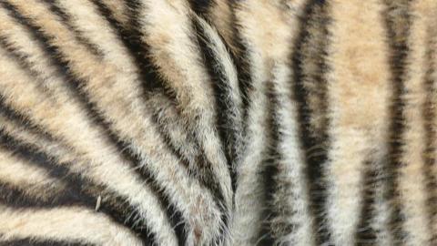 Skin of a Royal Bengal Tiger Footage