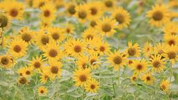 Sunflower field at Showa Memorial Park, Tokyo, Japan Footage