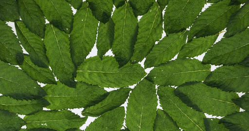 Fresh mint leaves lies on white background. Rotation. Leaf texture. Background Live Action