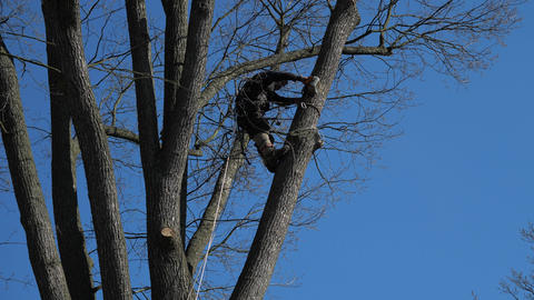 Worker with climbing equipment cuts large branches with a chainsaw in the crown of an old tree. Live Action