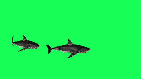 Sharks Swiming In A Circle Green Screen Front - 3D Rendering Animations Animation