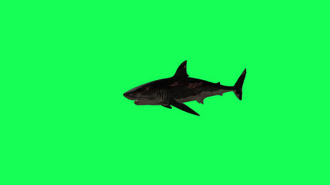 Shark Swim In A Circle Green Screen Front - 3D Rendering Animations Animation