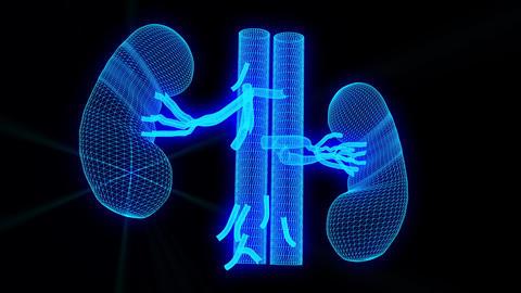wireframe Medical model of Kidneys - wireframe animation Animation