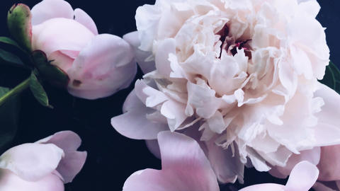 Pastel peony flowers in bloom as holiday, wedding and floral background Live Action