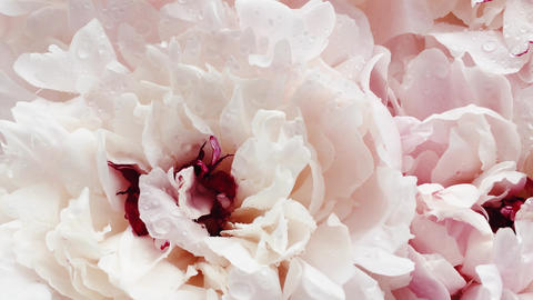 Beautiful peonies in bloom, pastel peony flowers as holiday, wedding and floral Live Action