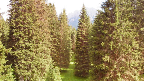 Aerial view of alpin pinewood in summer season, forest overhead panorama from Live Action