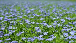 field of blooming flax against the blue sky, blue flax flowers Live Action