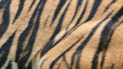 Skin of a Royal Bengal Tiger Live Action