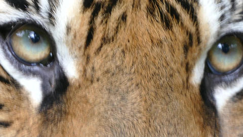 portrait of Bengal Tiger eyes Live Action
