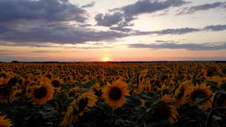 time lapse video of a fiery red sunset over a field of blooming sunflower Live Action