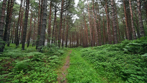 Personal Perspective of Walking on a Path in the green Forest, Steady Cam Shot Live Action