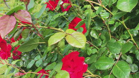 Wild blooming red roses in green botanical garden, flowers in bloom, nature and Live Action