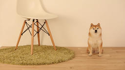Shiba Inu in the living room Footage
