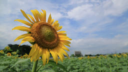 Close-up of a sunflower in a field on a sunny summer day, Tokyo, Japan Footage