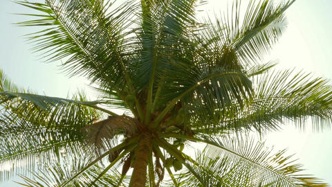 sun shining through coconut palm leaves, 4k Footage