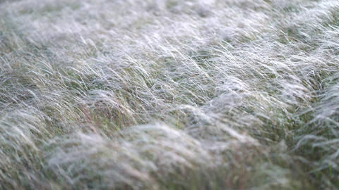 feather grass develops in the wind GIF