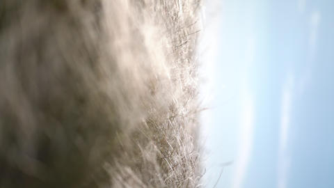 Vertical video. feather grass develops in the wind GIF