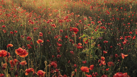 Blooming red poppies in a summer meadow swing in wind at sunset. Field of red Live Action