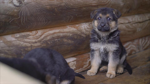 German shepherd puppy sits in a cage. Puppy german shepherd, long tongue sitting Live Action