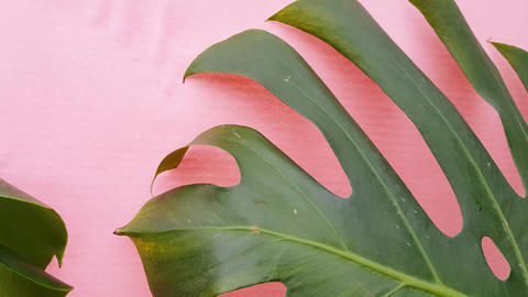 Green tropical palm leaves of monstera on a pink background, movement of Live Action