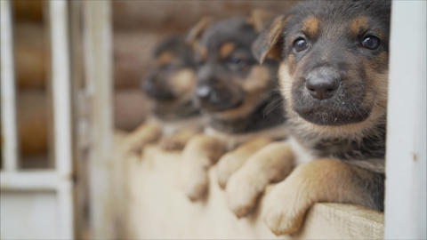 Cute puppies of the East European Shepherd. Shepherd puppies posing in the Live Action