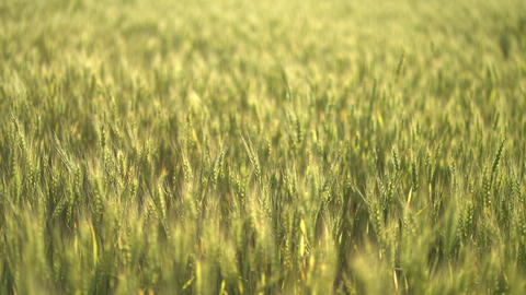 Natural green wheat stalks blow in the wind GIF
