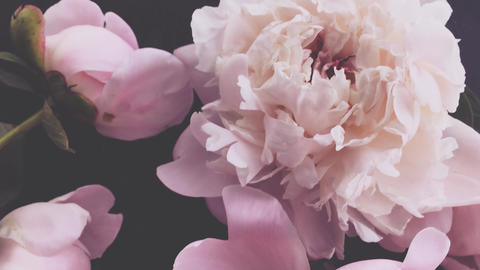 Pink peonies, pastel peony flowers in bloom as holiday, wedding and floral Live Action