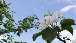 Apple Blossoms and sky Footage
