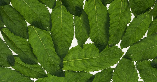 Panorama of a heap of fresh mint leaves. Mint leaves, transparent with streaks Live Action
