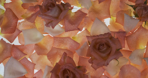 Panorama of flowers and rose petals in drops of dew on a white background. Rose Live Action