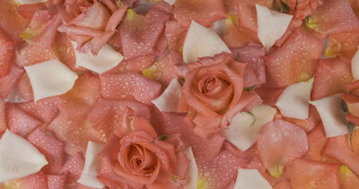 Panorama of flowers and rose petals in drops of dew. Roses on pink and white Live Action