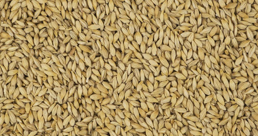 Whole barley grain background, texture. Rotation and zoom out of grain Live Action